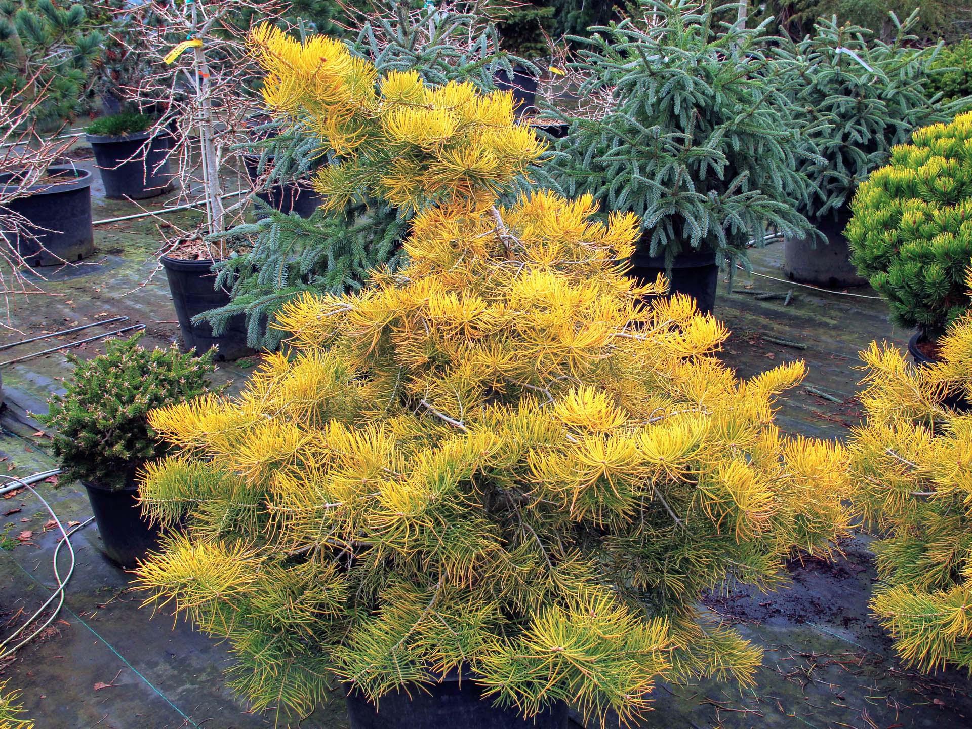 Abies concolor 'Wintergold'