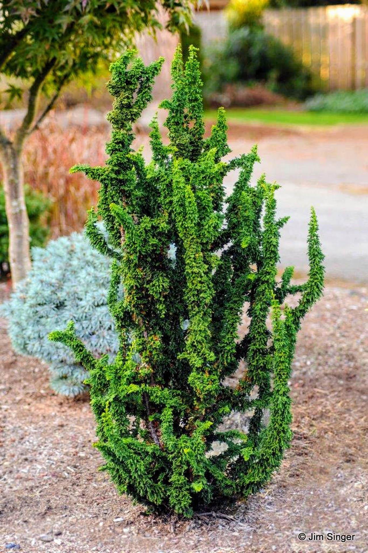 Chamaecyparis obtusa 'Chirimen' Hinoki Cypress
