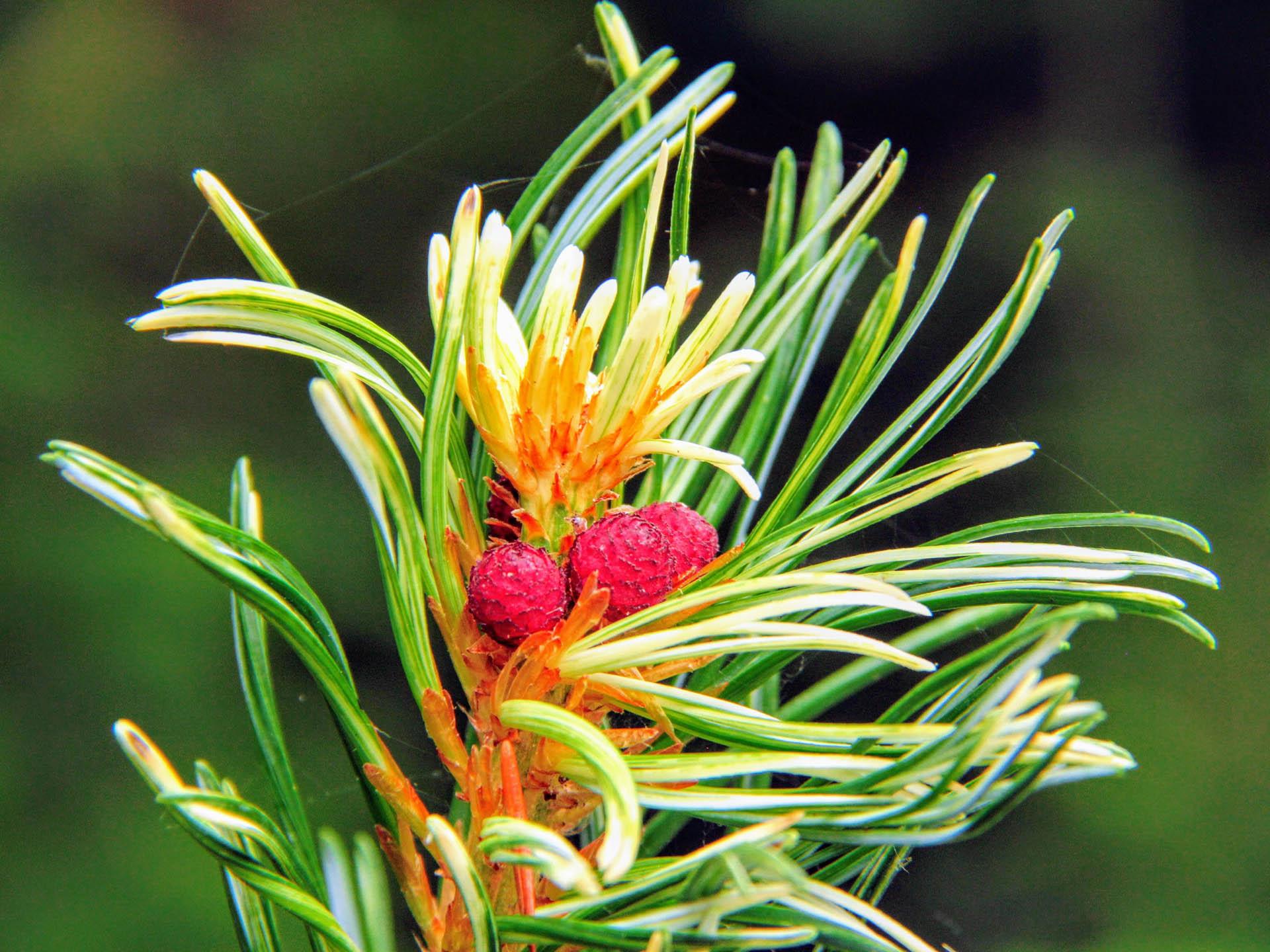 Pinus parviflora 'Tanima no yuki'