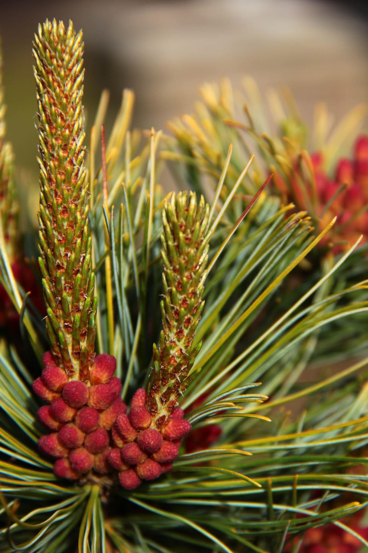 Pinus pumila 'Dwarf Blue'