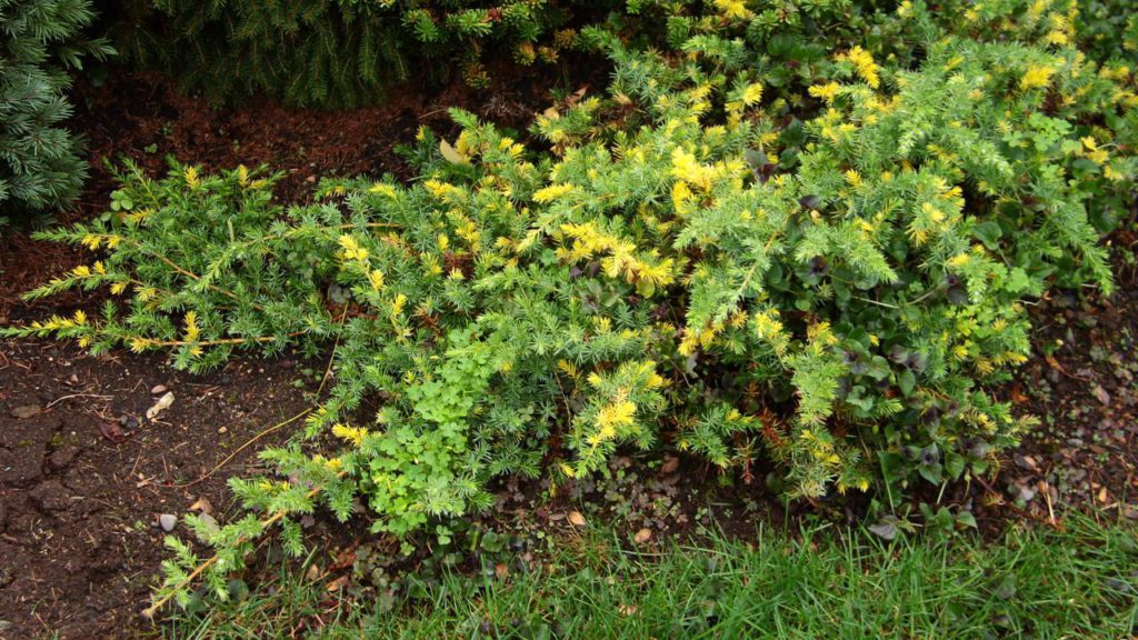 Juniperus conferta 'Sunsplash'