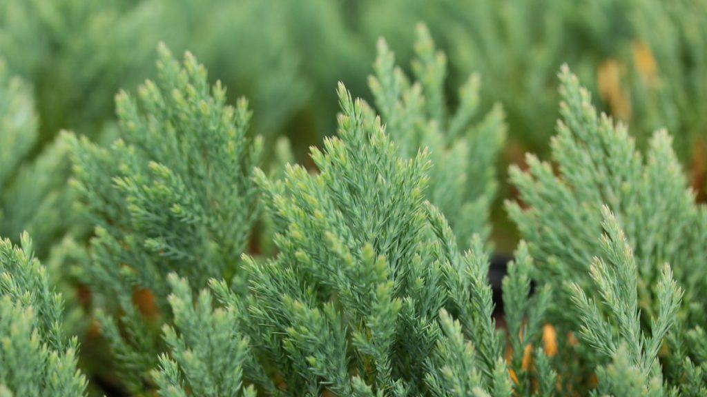 Juniperus-horizontalis-Blue-Forest-Creeping-Juniper-blue-ground-cover