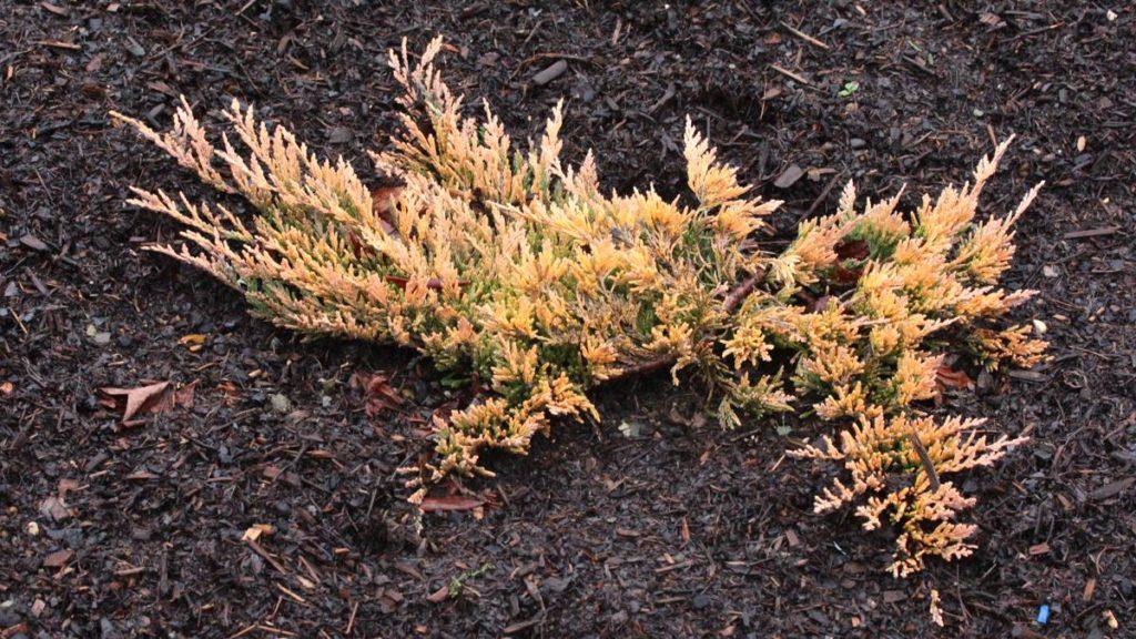 Juniperus-horizontalis-Copper-Harbor-Creeping-Juniper-gold-ground-cover