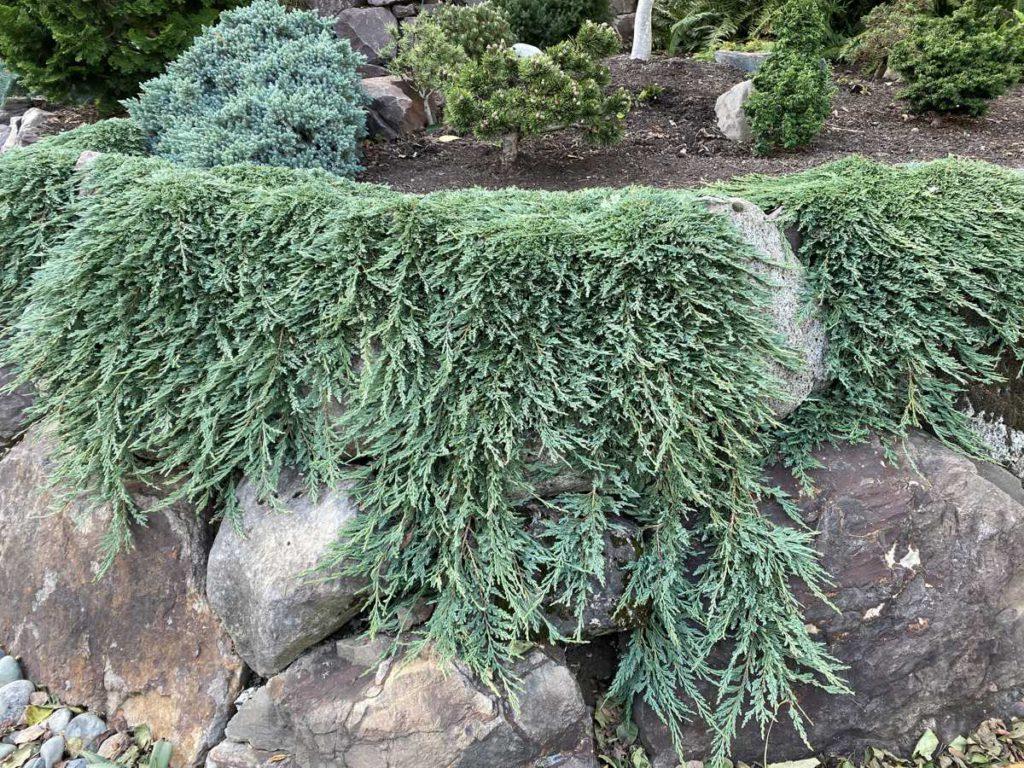 Juniperus-horizontalis-Pancake-Creeping-Juniper-blue-ground-cover