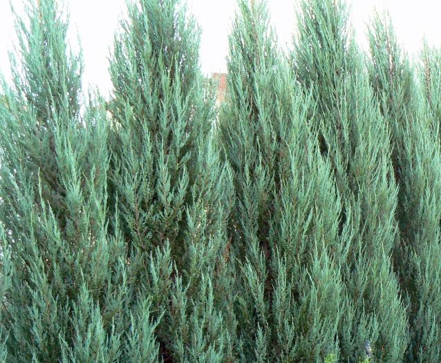 Juniperus-scopulorum-Blue-Arrow-Rocky-Mountain-Juniper-columnar-blue