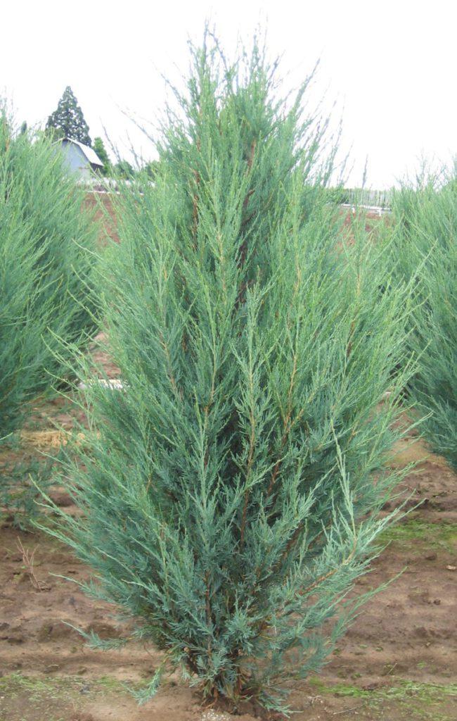 Juniperus-scopulorum-Sky-Rocket-Rocky-Mountain-Juniper-columnar-blue