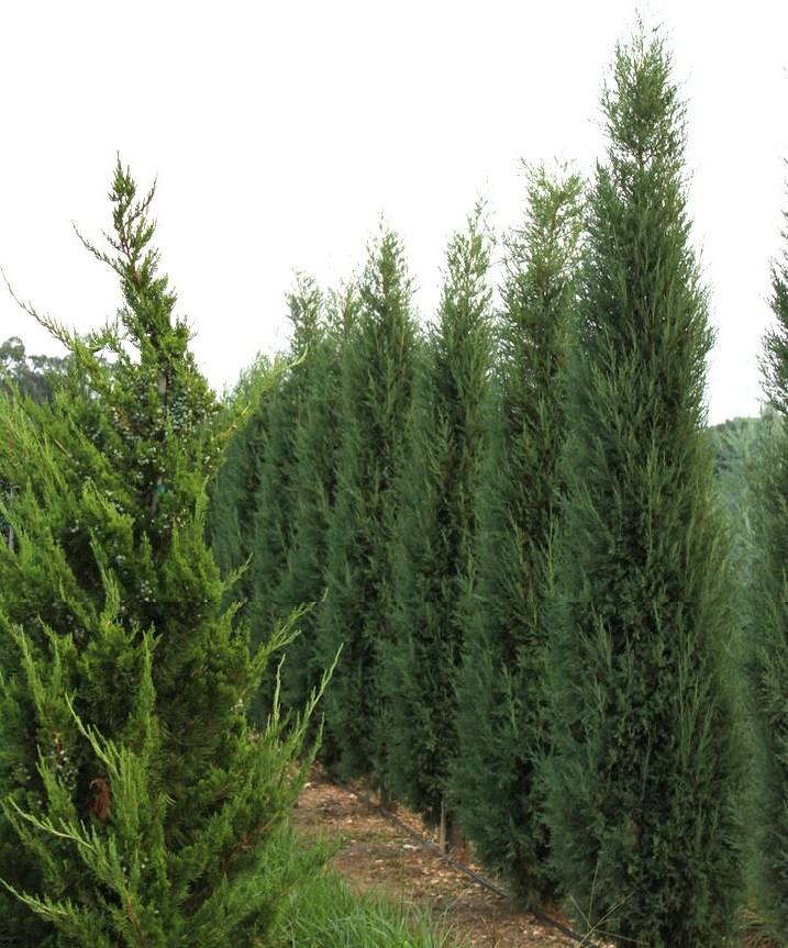 Juniperus-virginiana-Taylor-Virginia-Taylor-green-columnar