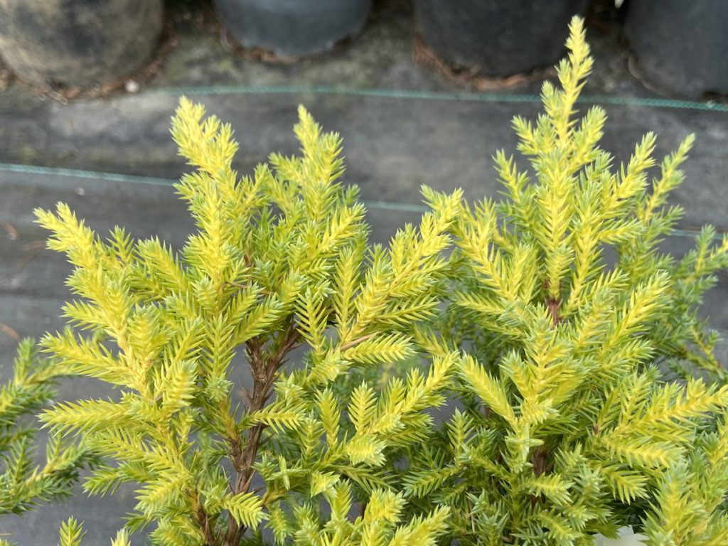 Juniperus-chinensis-Daub's-Frosted-Chinese-Juniper-blue-ground-cover