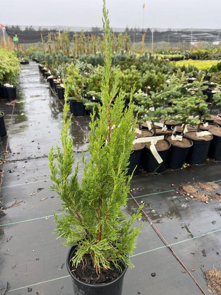 Juniperus-chinensis-Spartan-Chinese-Juniper-green-columnar