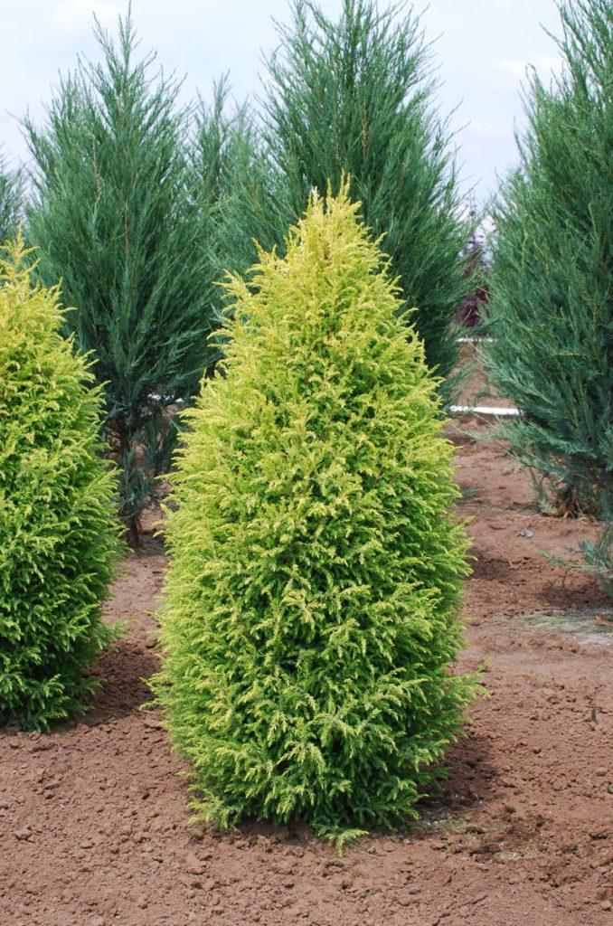 Juniperus-scopulorum-Gold-Cone-Rocky-Mountain-Juniper-gold-columnar