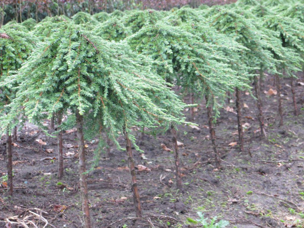 Juniperus-scopulorum-Green-Mantle-Rocky-Mountain-Juniper-green-columnar