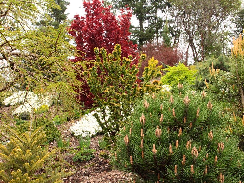 Garden-landscape-overview-maple-conifer