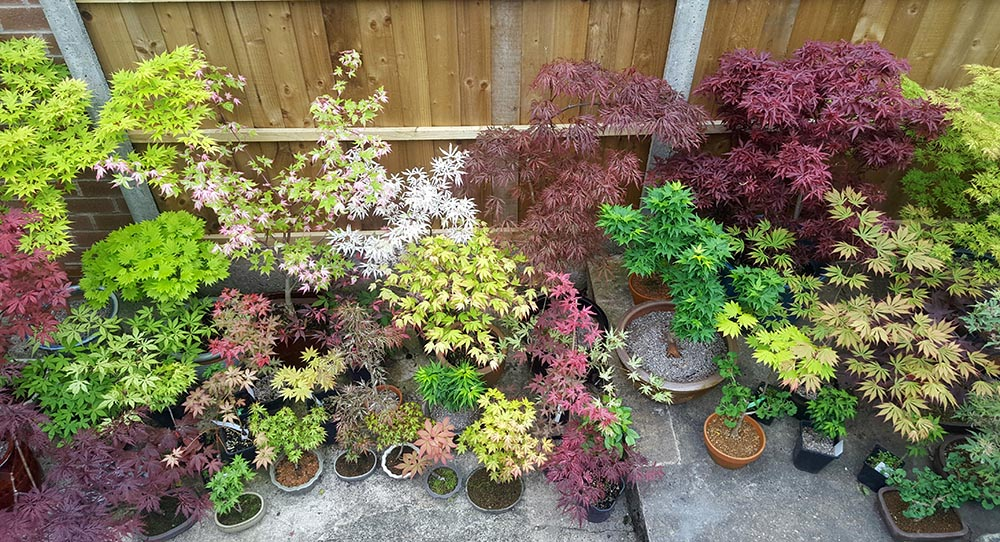 Maples-ginkgo-bonsai-in-containers-on-patio-garden-AR
