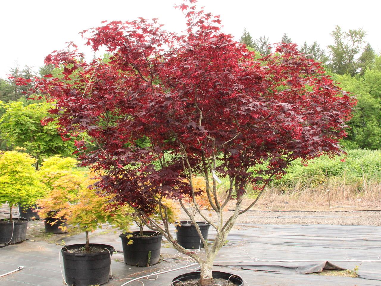 Acer palmatum Bloodgood Japanese maple broadleaf large red