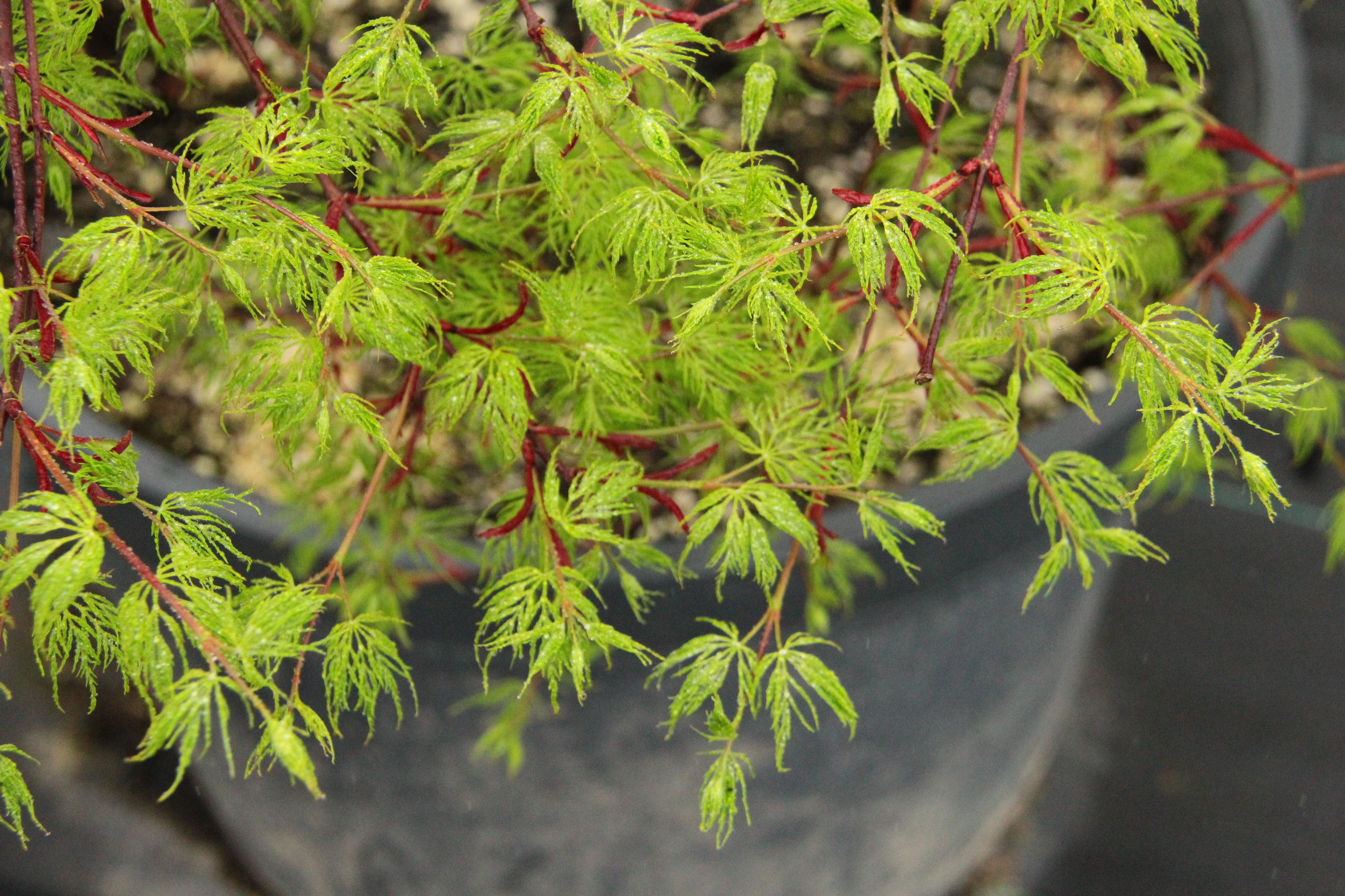 Acer palmatum Emerald Lace Japanese maple laceleaf large green