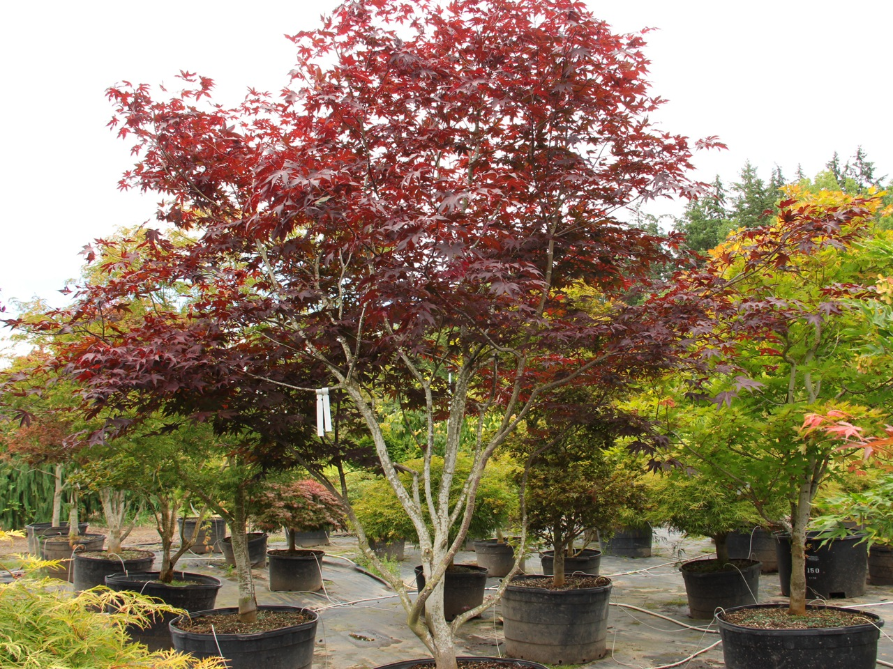 Acer palmatum Emperor I Japanese maple broadleaf large red