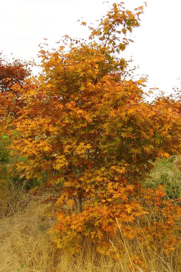 Acer palmatum Fireglow Japanese maple broadleaf intermediate red