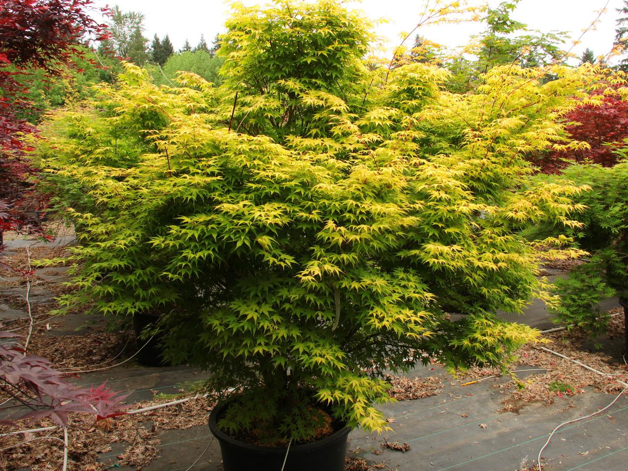 Acer palmatum Katsura Japanese maple broadleaf intermediate yellow
