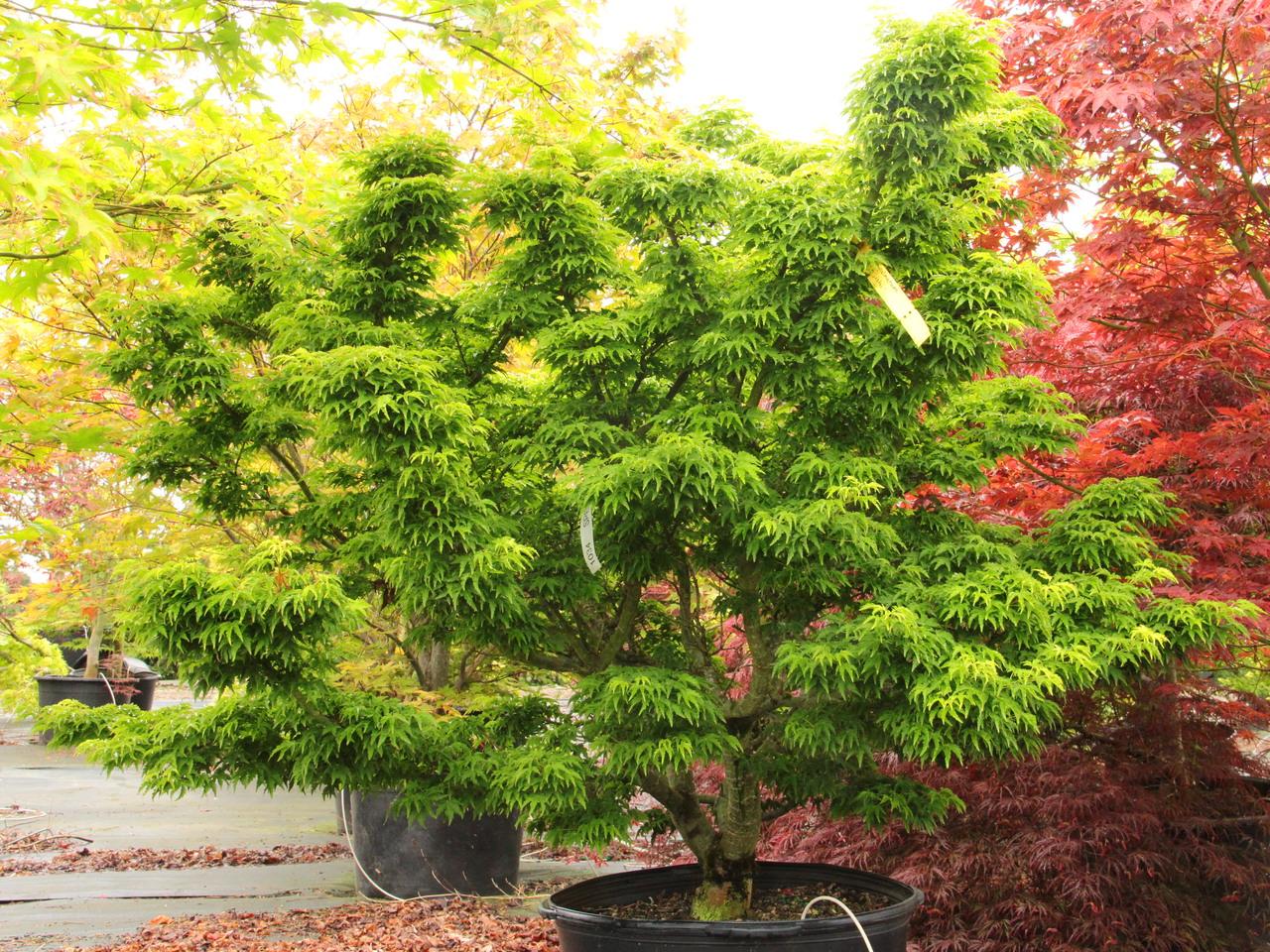Acer palmatum O jishi Japanese maple broadleaf dwarf green