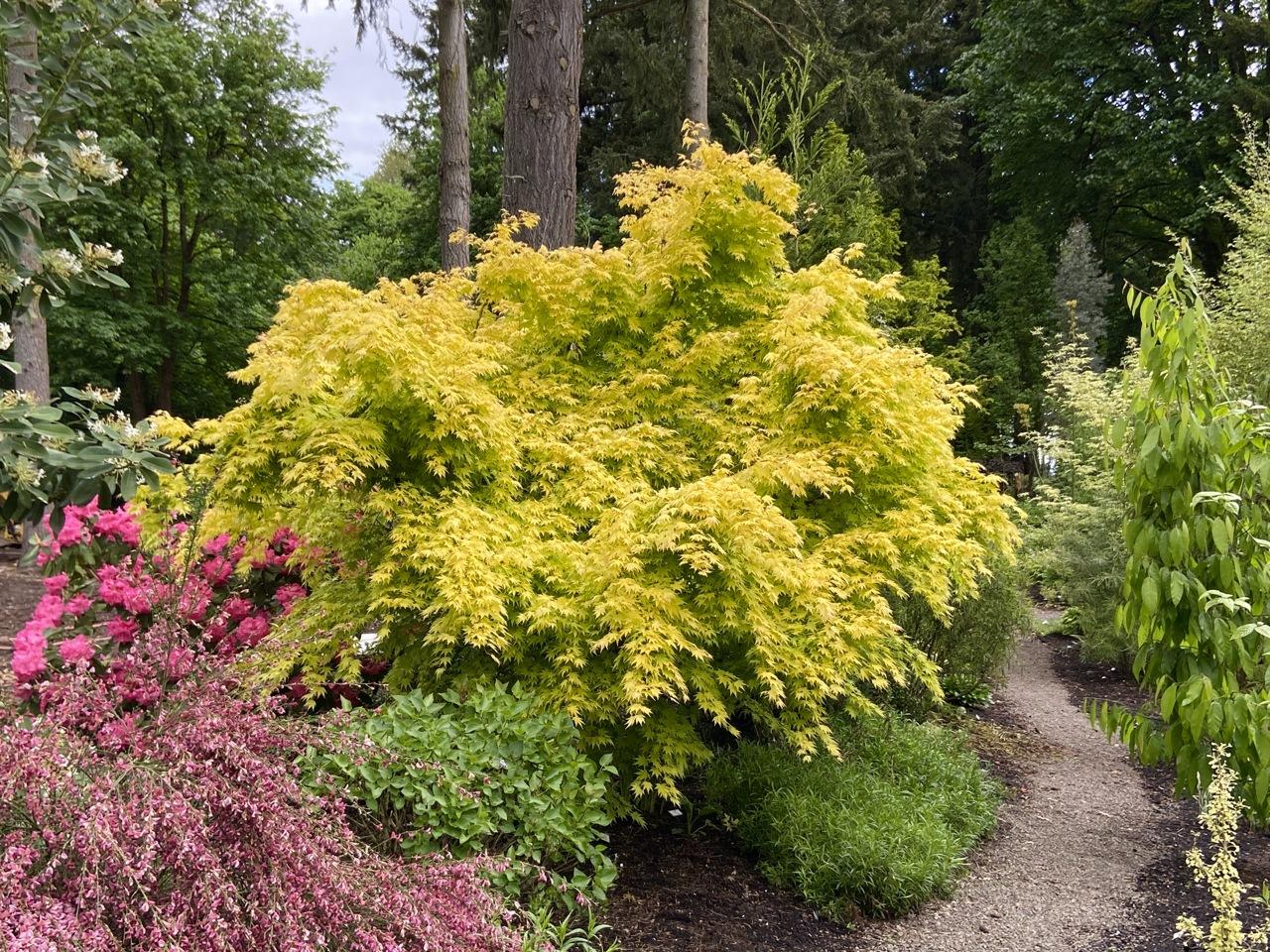 Acer palmatum Orange Dream Japanese maple  broadleaf yellow intermediate