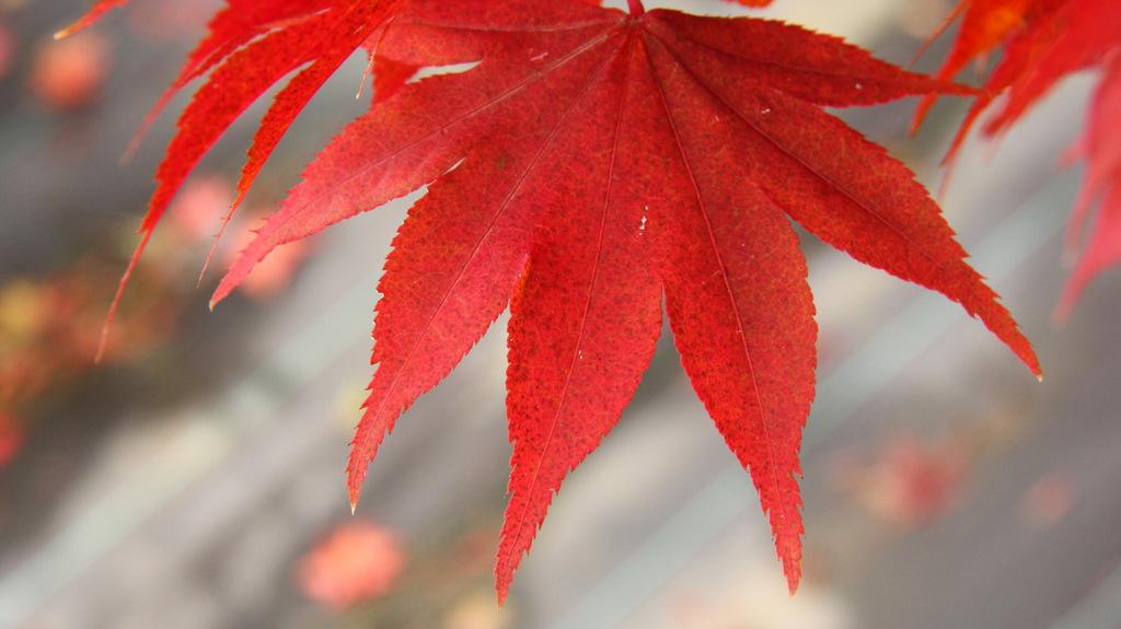 Acer palmatum Osakzuki Japanese maple broadleaf green large