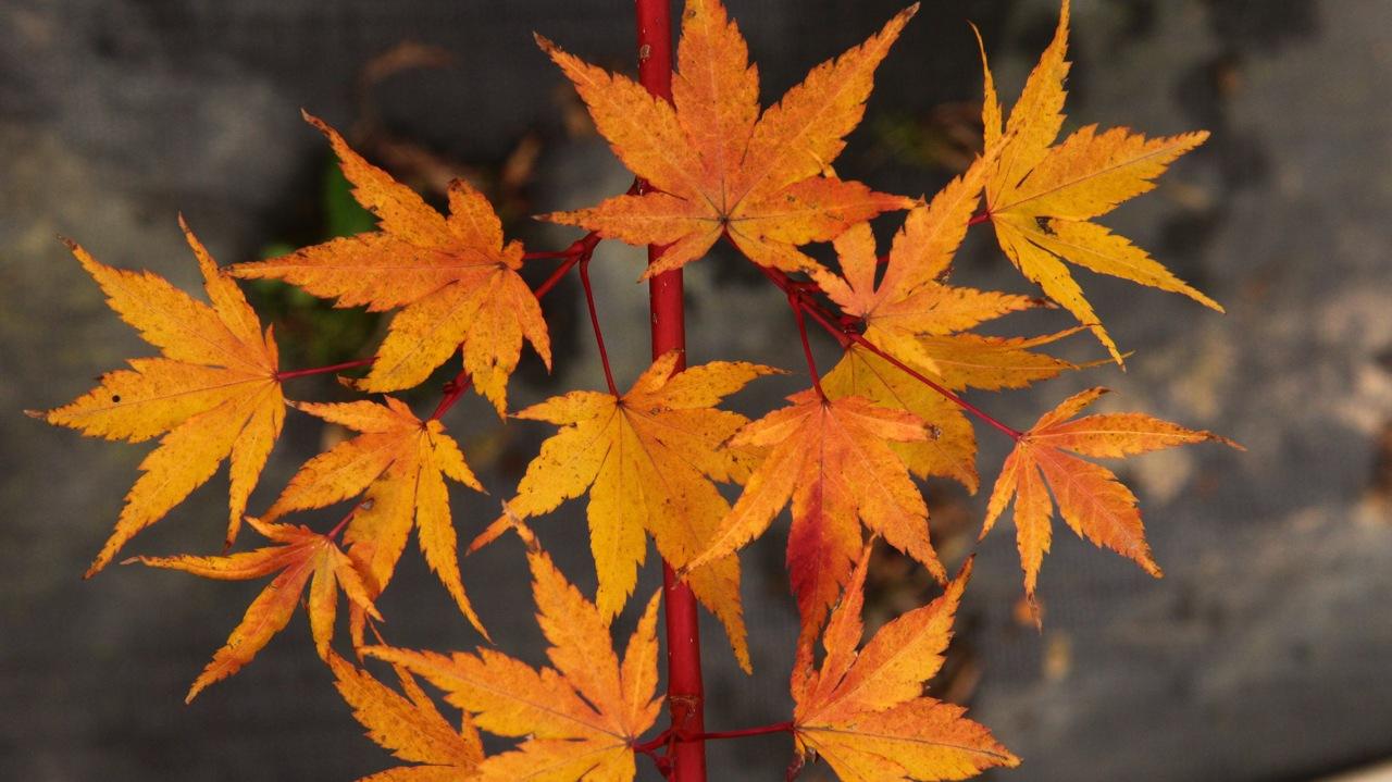 Acer palmatum Sango kaku Coral Bark Maple broadleaf intermediate green