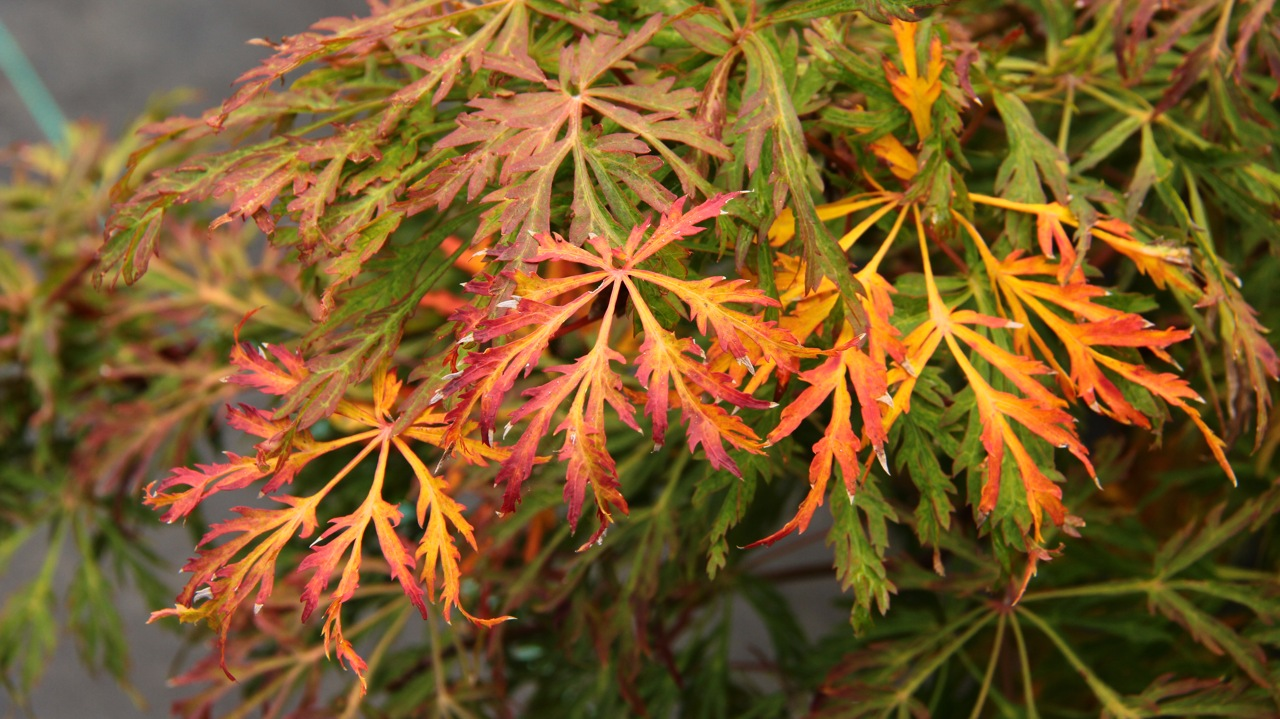 Acer japonicum Green Cascade Full Moon Maple laceleaf intermediate green