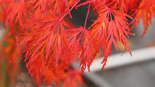 Acer palmatum Seiryu Japanese maple broadleaf intermediate green