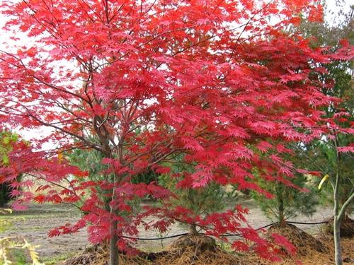 Acer shirawanum Sensu Full Moon Maple broadleaf intermediate green
