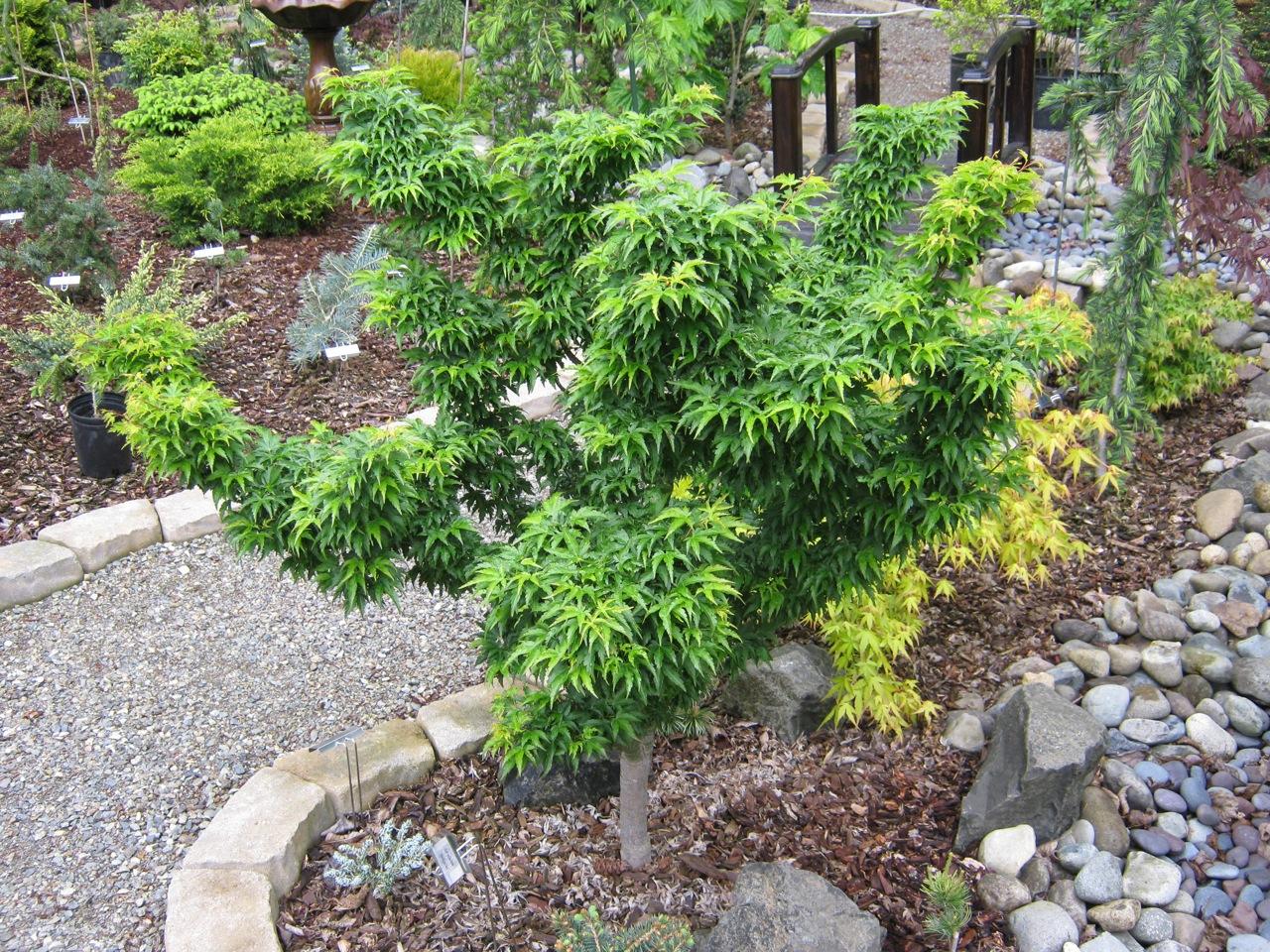 Acer palmatum Shishigashira Japanese maple broadleaf green dwarf