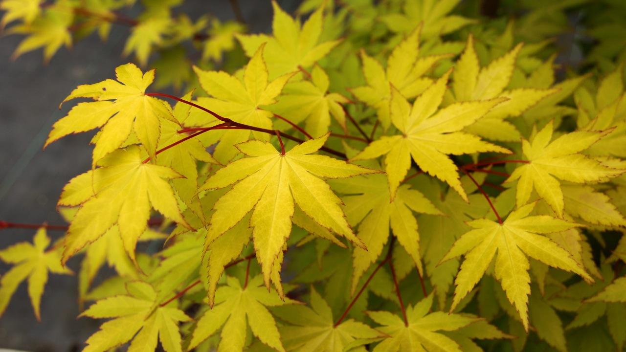 Acer palmatum Summer Gold Japanese maple broadleaf yellow large