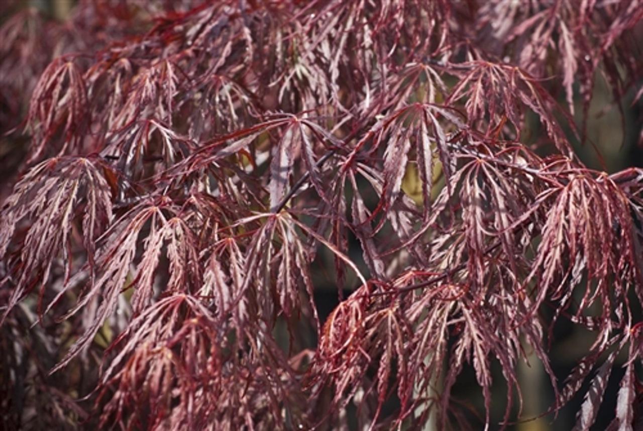 Acer palmatum Tamukeyama Japanese maple laceleaf red intermediate