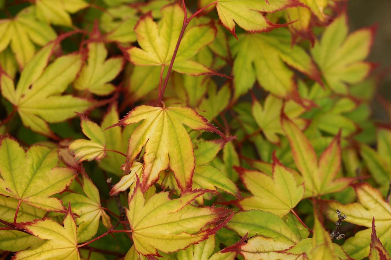 Acer palmatum Tsuma beni Japanese maple broadleaf multicolor dwarf