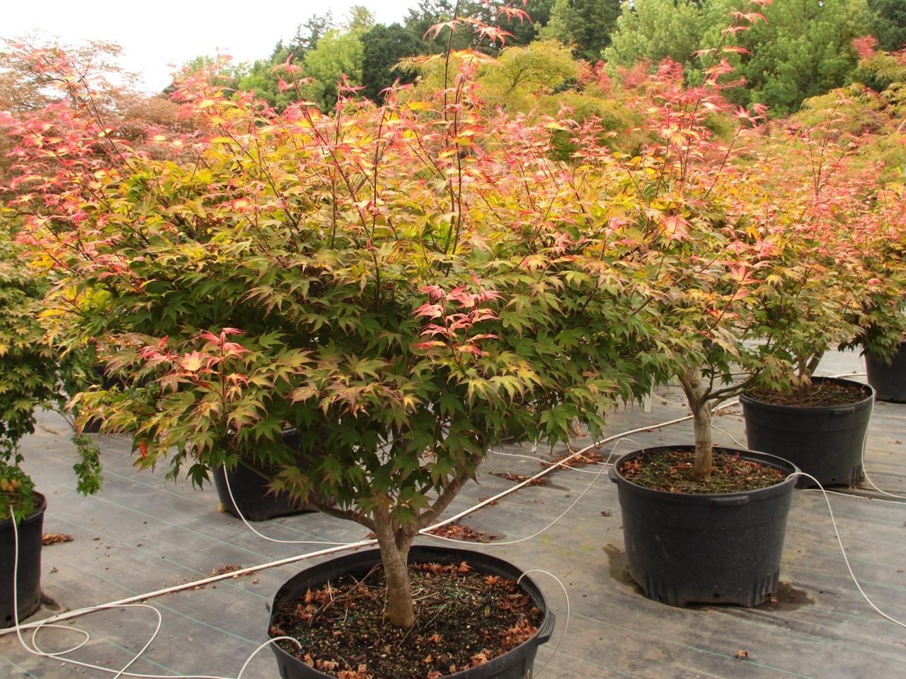 Acer palmatum Tsuma gaki Japanese maple broadleaf multicolor dwarf