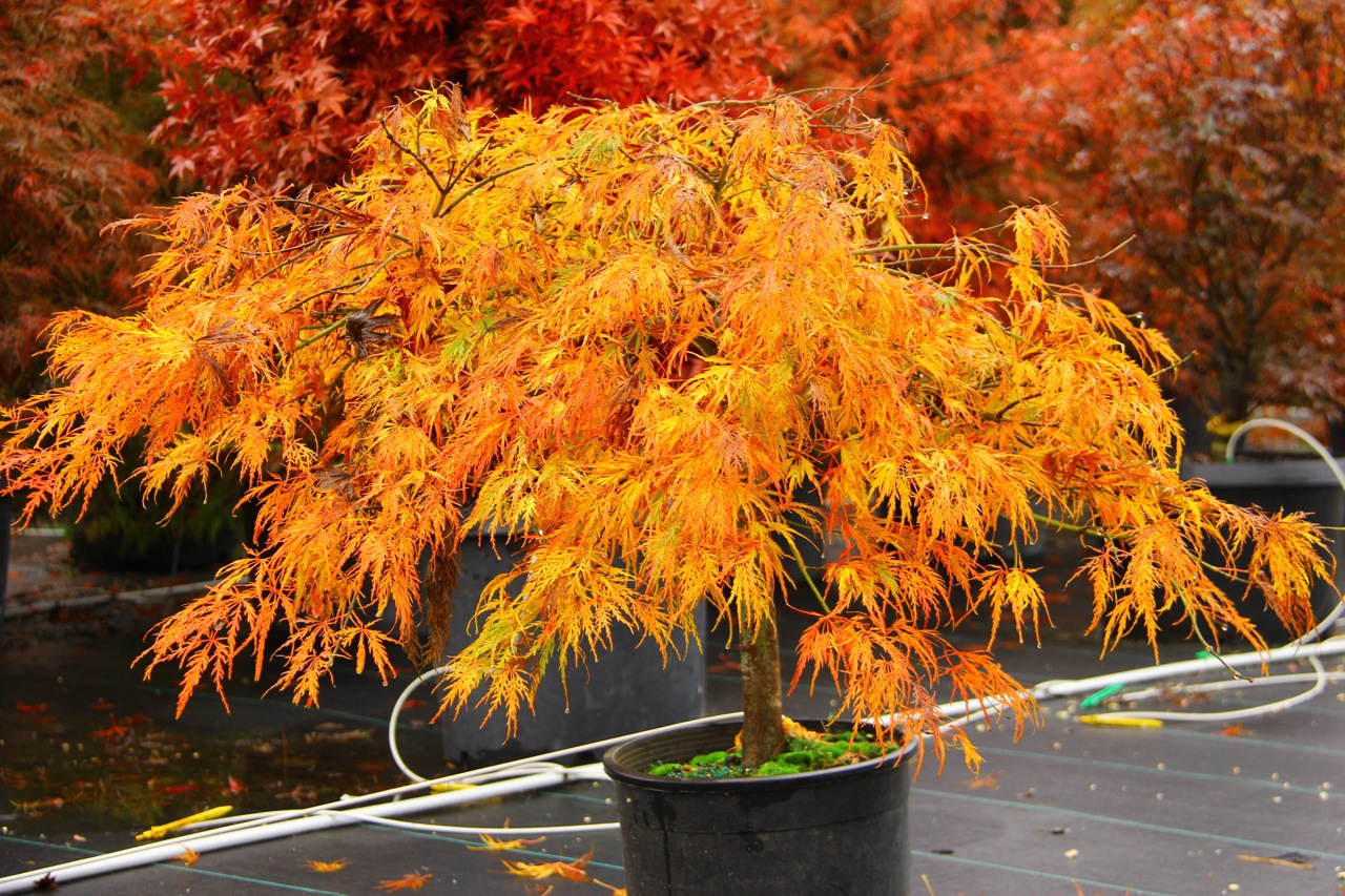 Acer palmatum Twombly's Red Sentinel Japanese maple broadleaf red intermediate