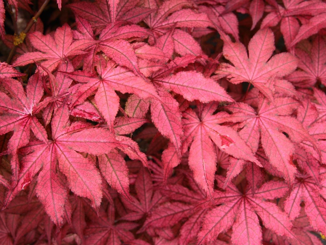 Acer palmatum Amagi shigure Japanese maple broadleaf red dwarf