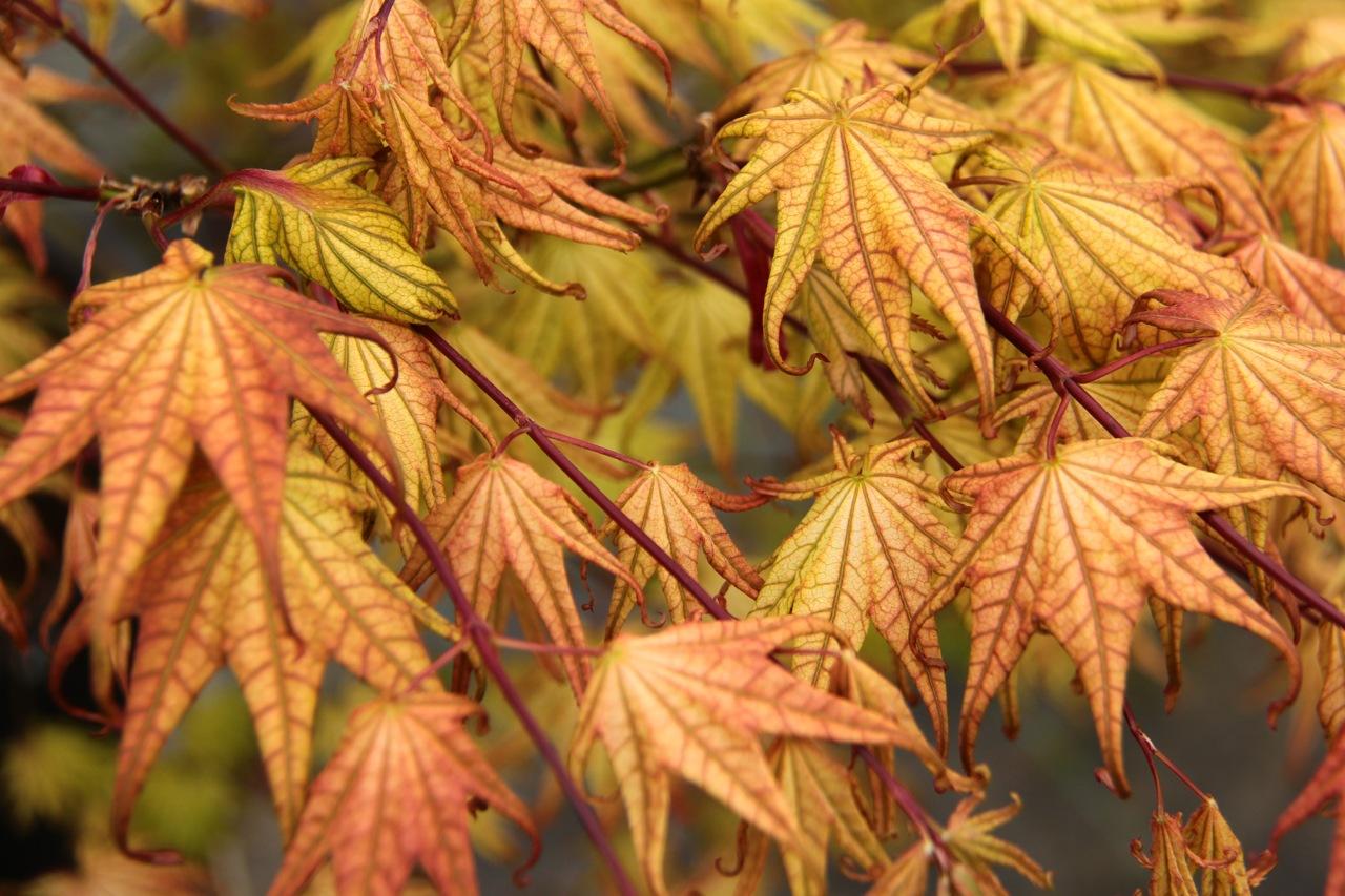 Acer palmatum Peaches and Cream Japanese maple  broadleaf multicolor intermediate
