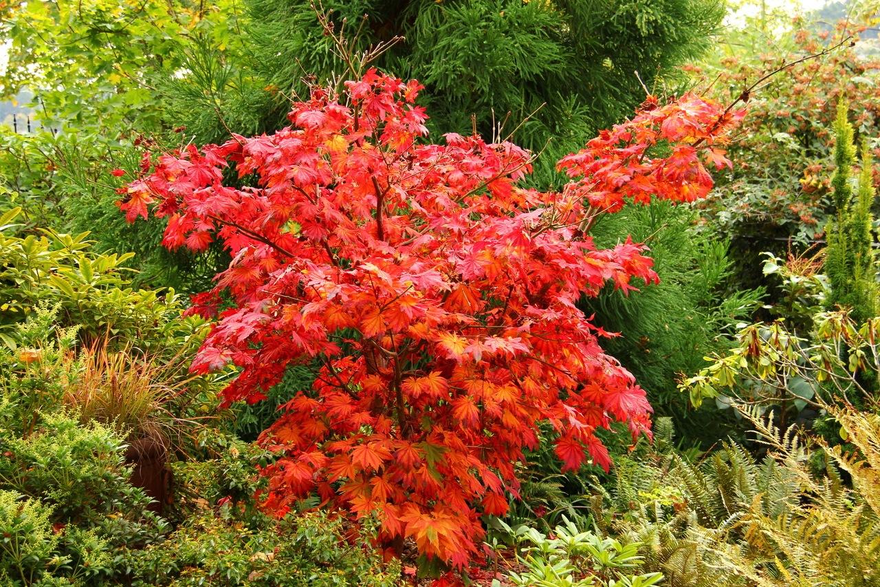 Acer japonicum Vitifolium Full Moon Maple broadleaf intermediate green