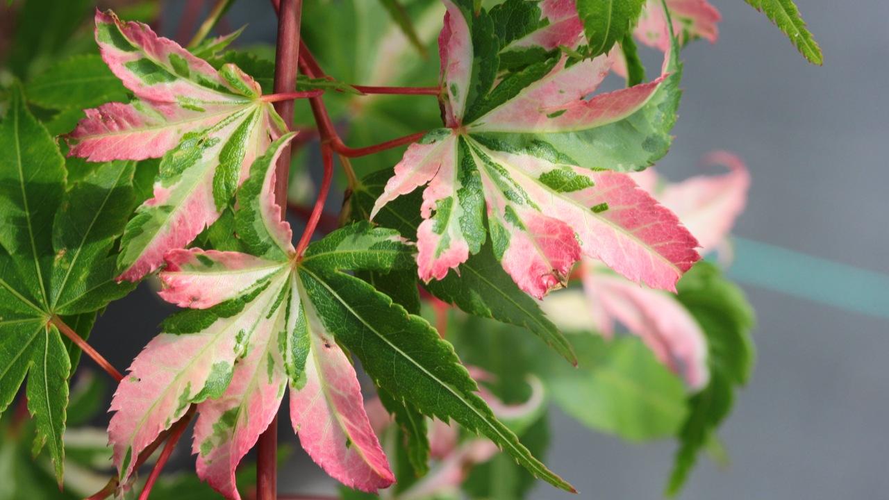 Acer-palmatum-Aizuma-nishiki-Japanese-maple-variegated-leaves