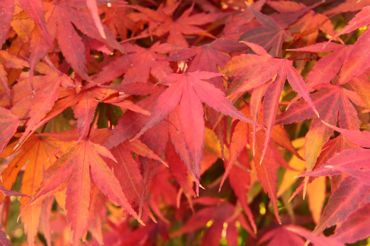 Acer-palmatum-ara-kawa-Japanese-Maple-rough-bark-cork-bark