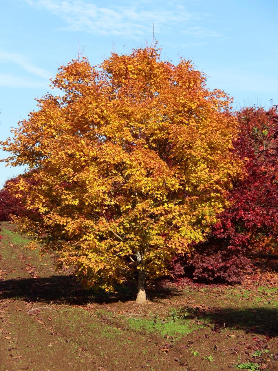Acer-palmatum-beni-kawa-Japanese-maple-coral-bark-red-twig-dwarf