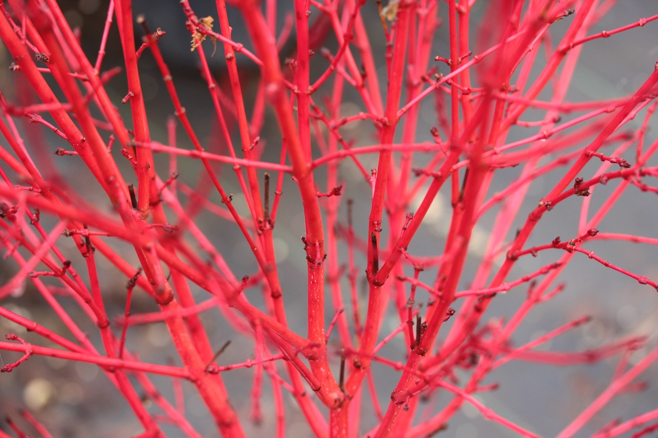 Acer-palmatum-little-sango-Japanese-maple-dwarf-coral-bark