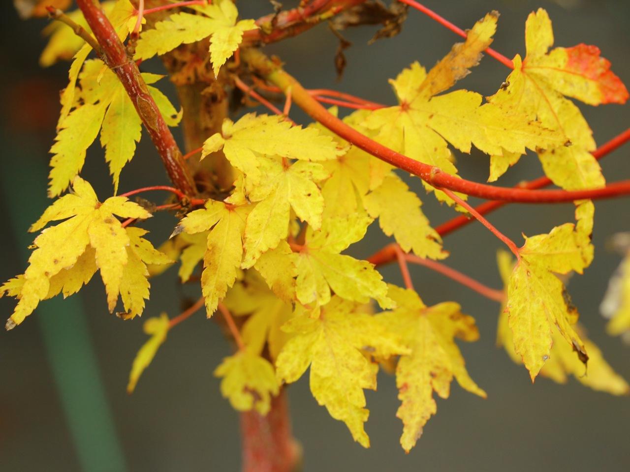 Acer-palmatum-Aka-kawa-hime-Japanese-maple-coral-bark-red-twig