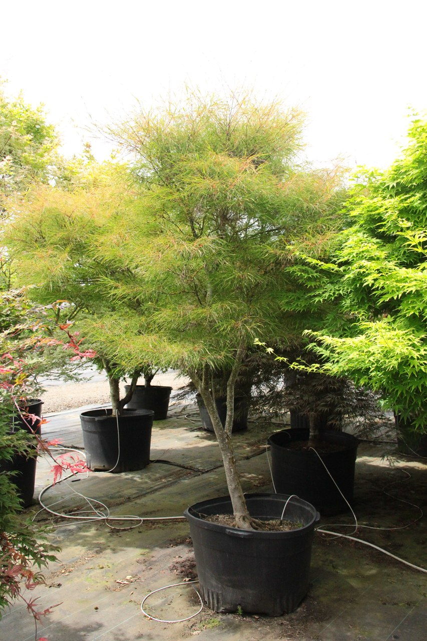 A unique, very slow-growing Japanese maple, this dwarf green cultivar has very narrow, string-like leaves, not much wider than leaf veins. More sturdy than its deceptively delicate look would suggest, Fairy Hair is a selection that will be less than 3 f