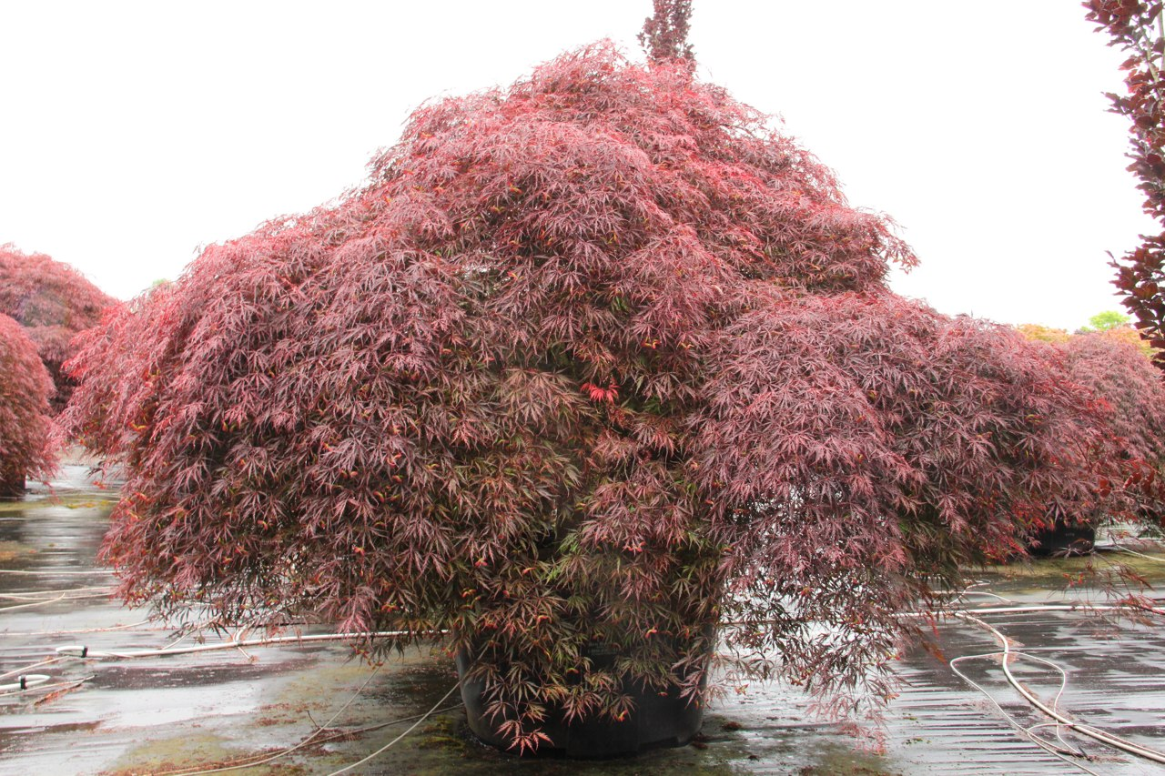 The rich, purple-red leaves of this laceleaf Japanese maple boast a deeper color than other reds and retain it throughout summer without going bronze. In fall, the leaves turn crimson to match the striking red leaf stalks. The very large leaves, less fine