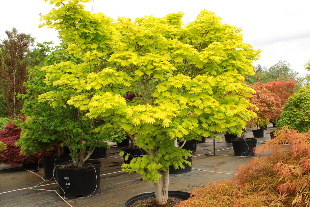 The foliage of this prized Full Moon maple virtually glows throughout the season. Especially in a site with filted light, the fan-shaped leaves emerge bright yellow in spring, then gradually soften to yellow-green, a color that holds all summer. In fall,