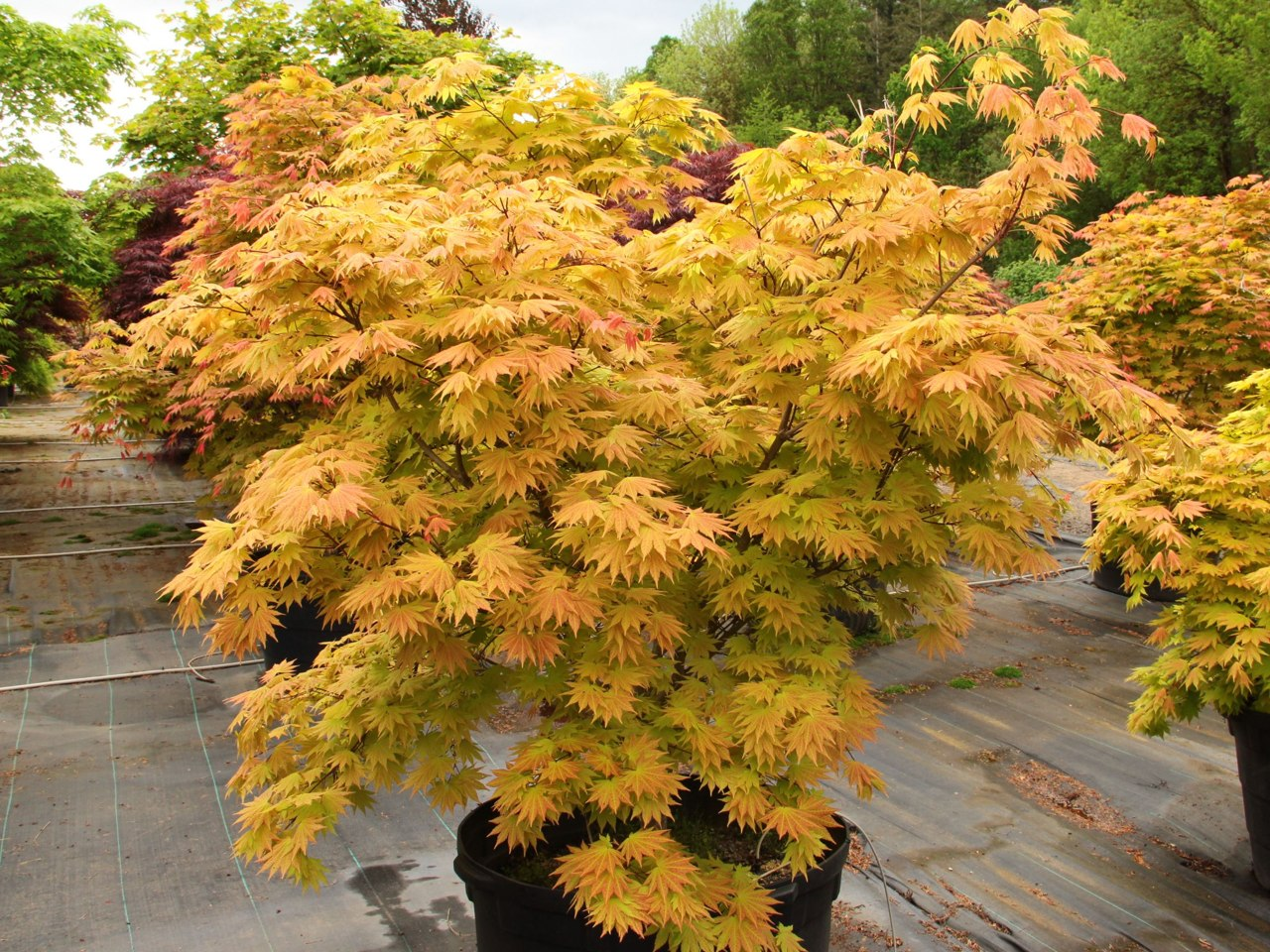 Vigorous, versatile and unbelievably easy to grow, this small, dramatic Full Moon maple boasts orange-red highlights on yellow leaves. The unusual coloring, strongest in full sun, lasts from when leaves emerge in spring until they go rich orange-red in fa