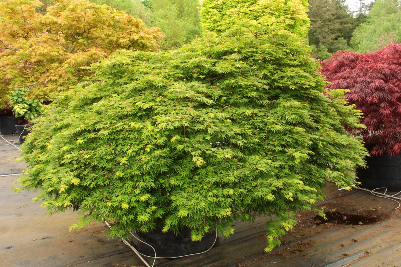 This unique, weeping Full Moon maple has tiny, lacy, light green leaves shaped like nearly circular snowflakes. Leaves develop orange margins in full sun and turn a blend of yellow and orange in fall. Thought to be a cross between palmatum and shirasawanu