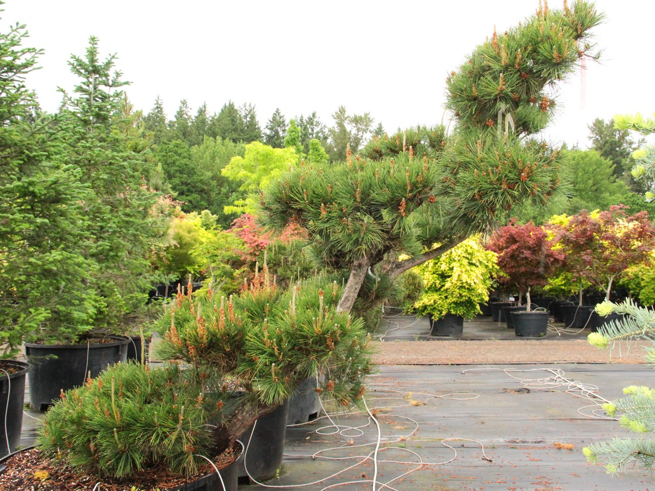 This irregular-growing species is iconic in Japanese gardens for its windswept habit and sculptural branching structure. The long dark-green needles and furrowed bark make for quite stunning specimens as they age.
