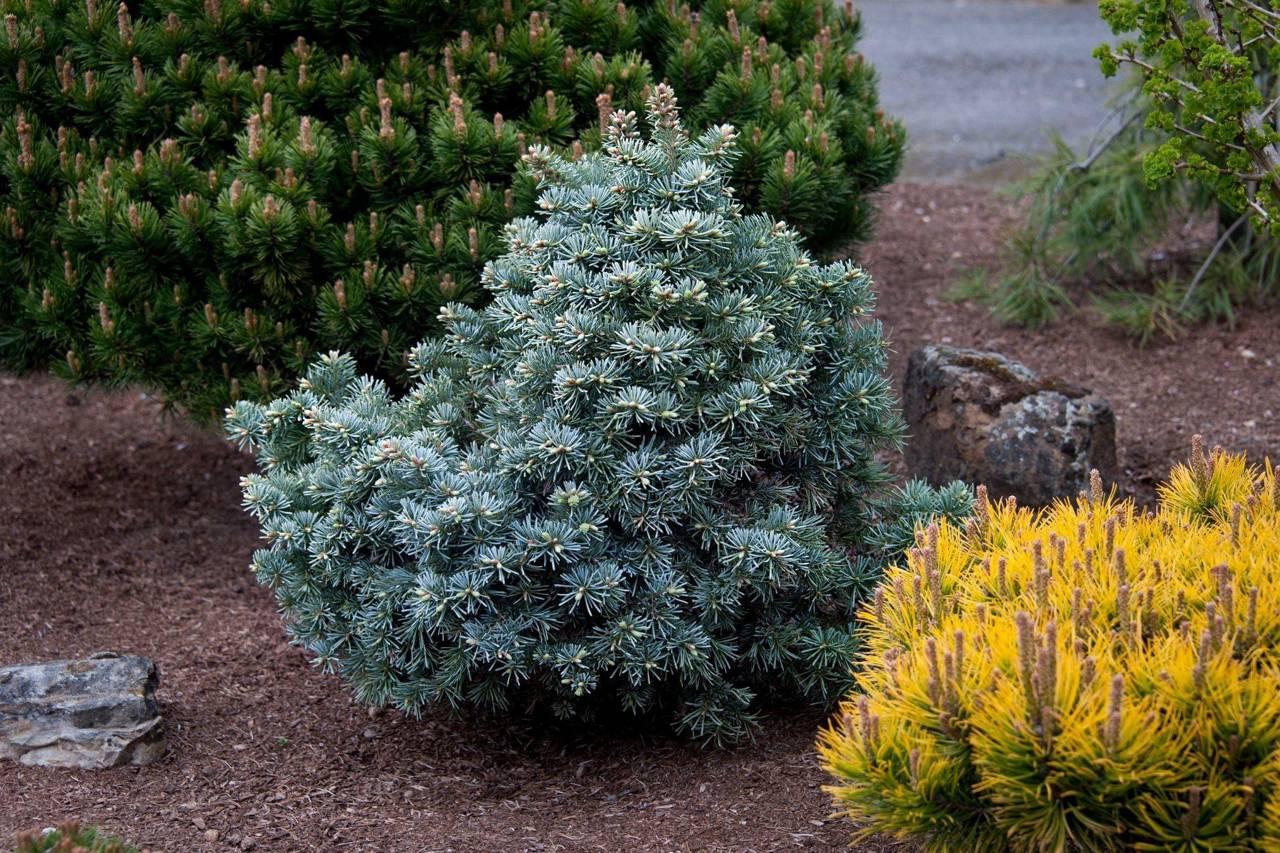 Abies lasiocarpa Prickly Pete conifers blue evergreen